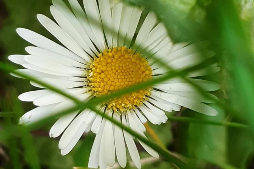 An image of a daisy flower | NICRC